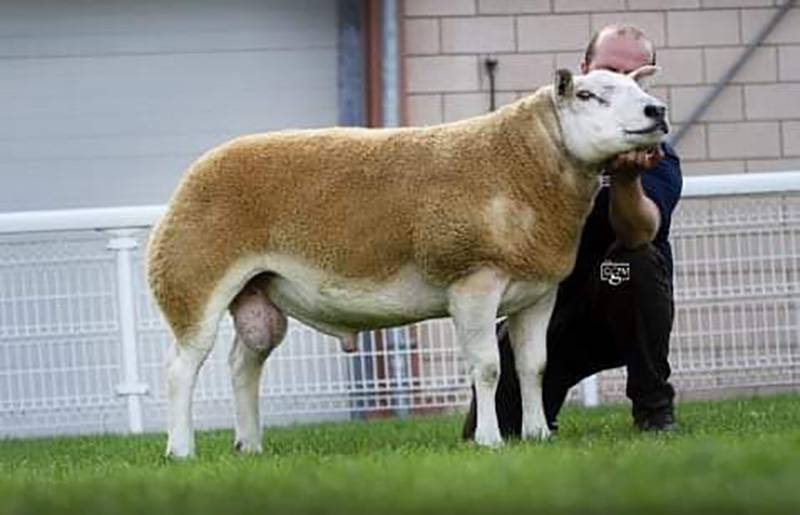 Logie Durno Braveheart, sold 2019 for 6000gns champion NSA Builth also sire of many of our shearling rams for 2020