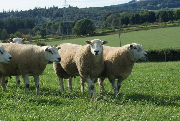 Good selection of Logie rams available