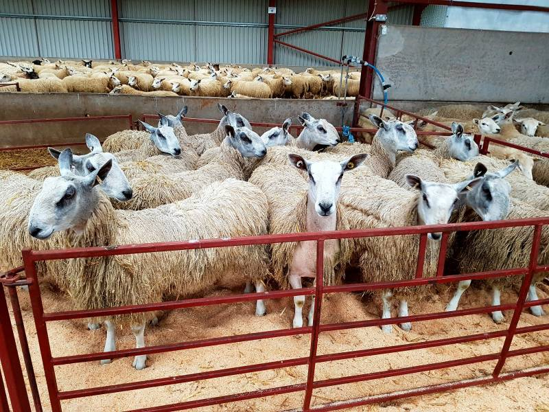 Blue Faced Leicesters waiting in the back pen