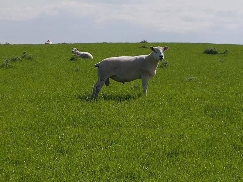 Logie Ram happy with his fleece of