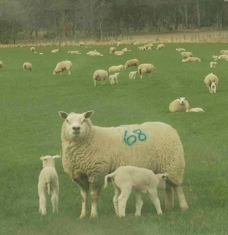 Durno shearling ewe with her two lambs