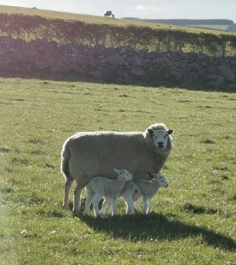 Logie ewe with her three lambs