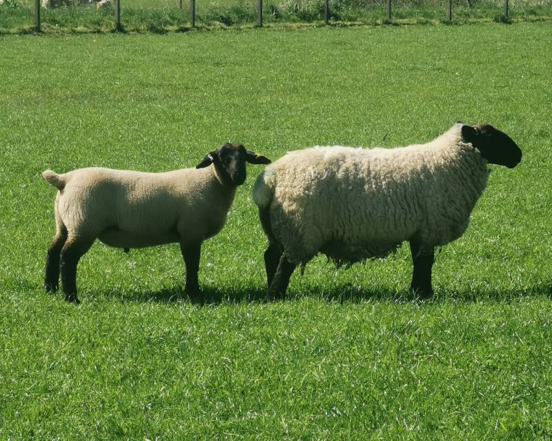 Suffolk shearling ewe with her March born lamb