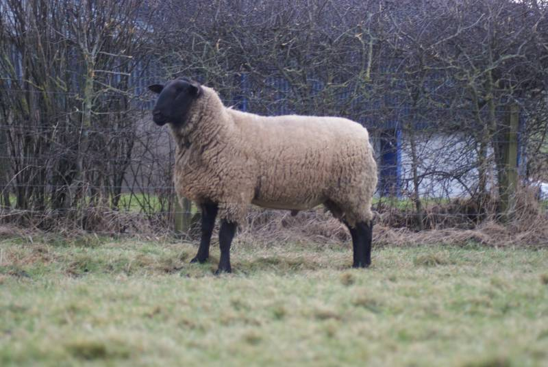 SUFFOLK      Bentley 239:16:02498 - Index 4.38 (Top 5% UK) New stock sire for 2018. He has some NZ genetics in him producing finer boned easier lambing Suffolks, great for commercial lamb production.