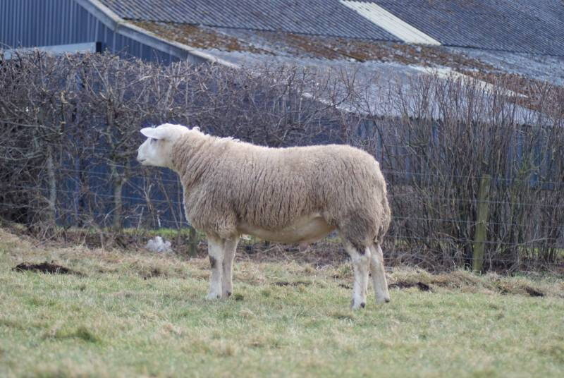 TEXEL      Caereinion Ace - Index 436 (Top 1%  UK) New stock sire for 2018. Ace has been bred by a flock known for producing top commercial and pedigree Texels. He has size, length and mobillity.