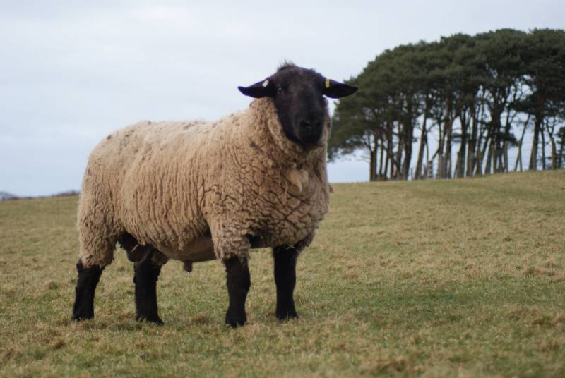 SUFFOLK      Bentley Fly Half - Index 4.14 (Top 5% UK) Fly Half has been a game changer for our flock. We rate him massively and have used him on every ewe possible.