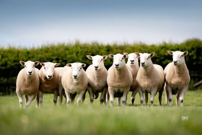 We have a huge selection of Logie and Fronteira rams available, both breeds have been heavily selected for maternal traits and are on grass only.  Please get in touch.  Free delivery to an area near you!
