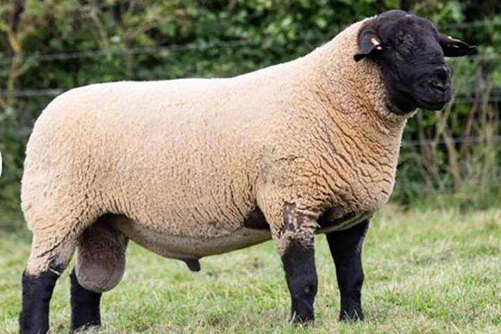 Pedigree Suffolk Rams and Females