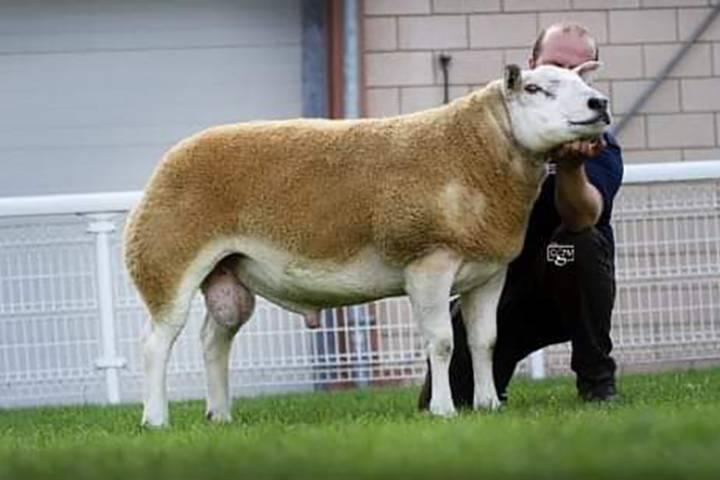 Pedigree Texel Rams and Females