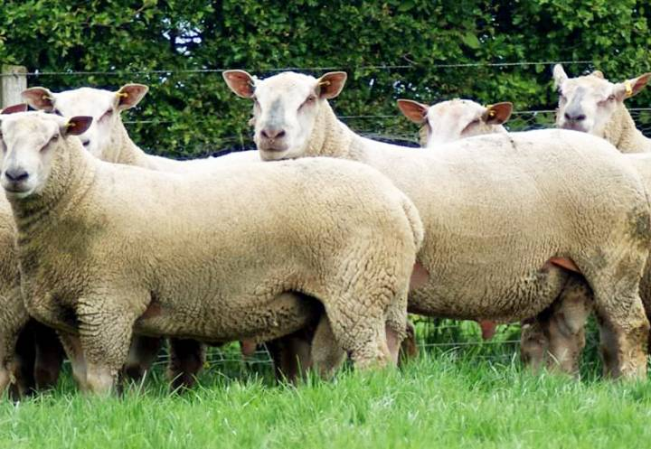 Some of the Charollais Shearling rams for sale this year