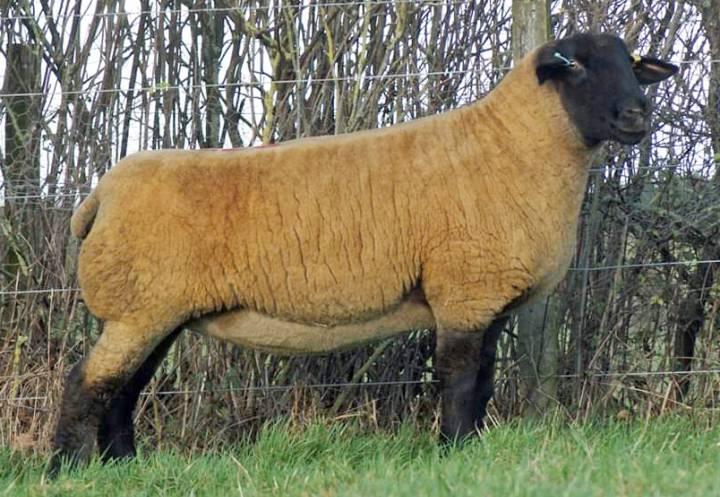 Shearling ewe sold in 2019