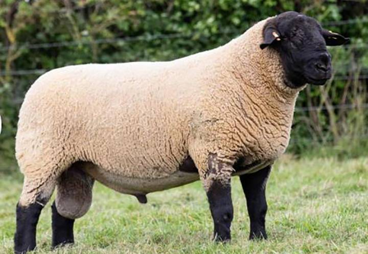 Logie Durno Sonny Bill, sire of rams for sale. Exported to Germany in 2019