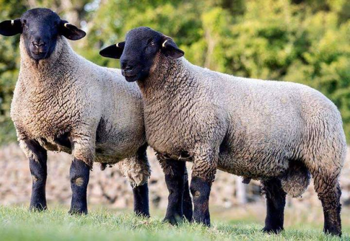 2020 lambs sired by semen that we sold in 2019