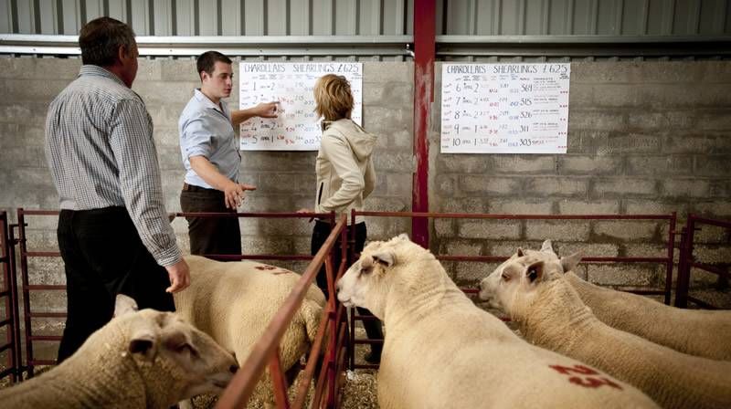 Working with clients to breed rams for their individual needs.
