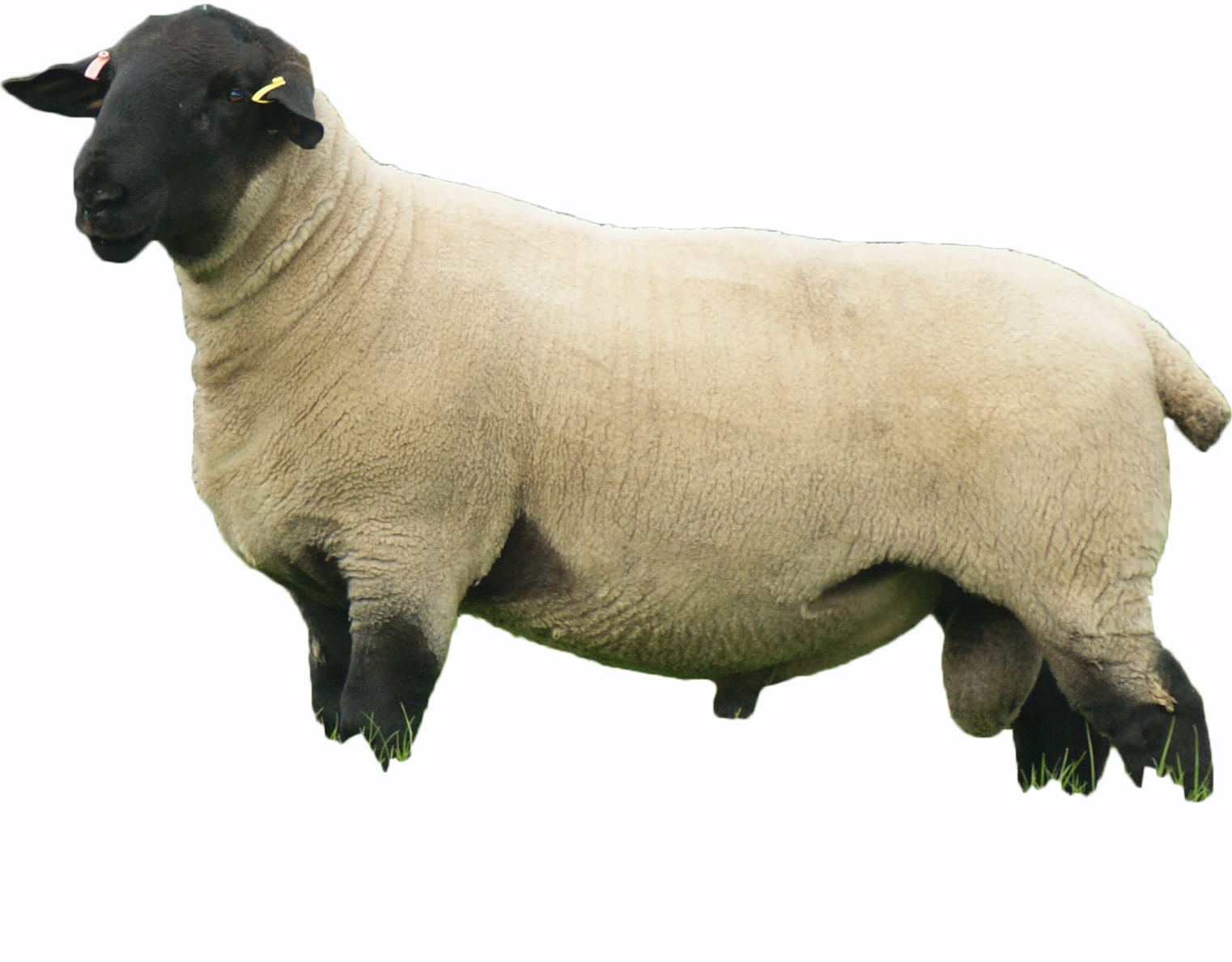 Pedigree Suffolk Sheep | Logie Durno Sheep